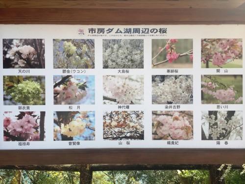 市房ダム湖の桜 種類